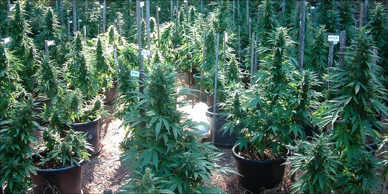 How To Grow Just A Few Cannabis Plants Outside Herb