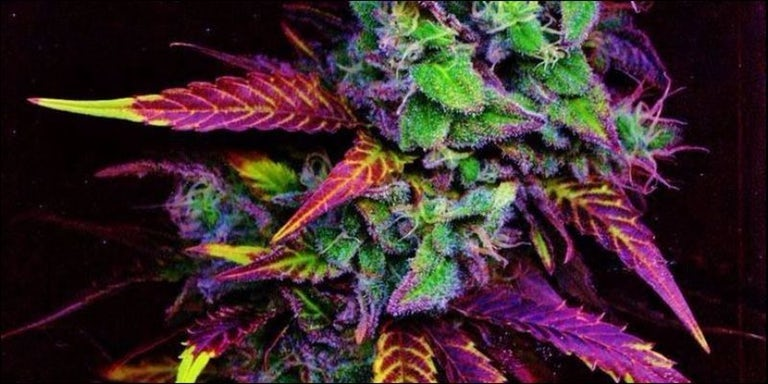 science of bud colors