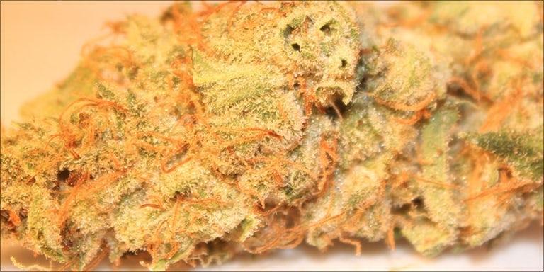 bud colors: Yellow and orange strains