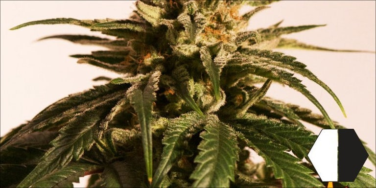 10 High CBD Strains That Will Help Calm Your Anxiety | Herb