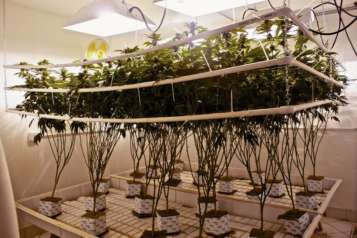 What is Hydroponic Weed? The Pros and Cons of Hydroponics vs