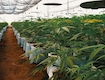 hydroponic weed: Drip System or Top Feed