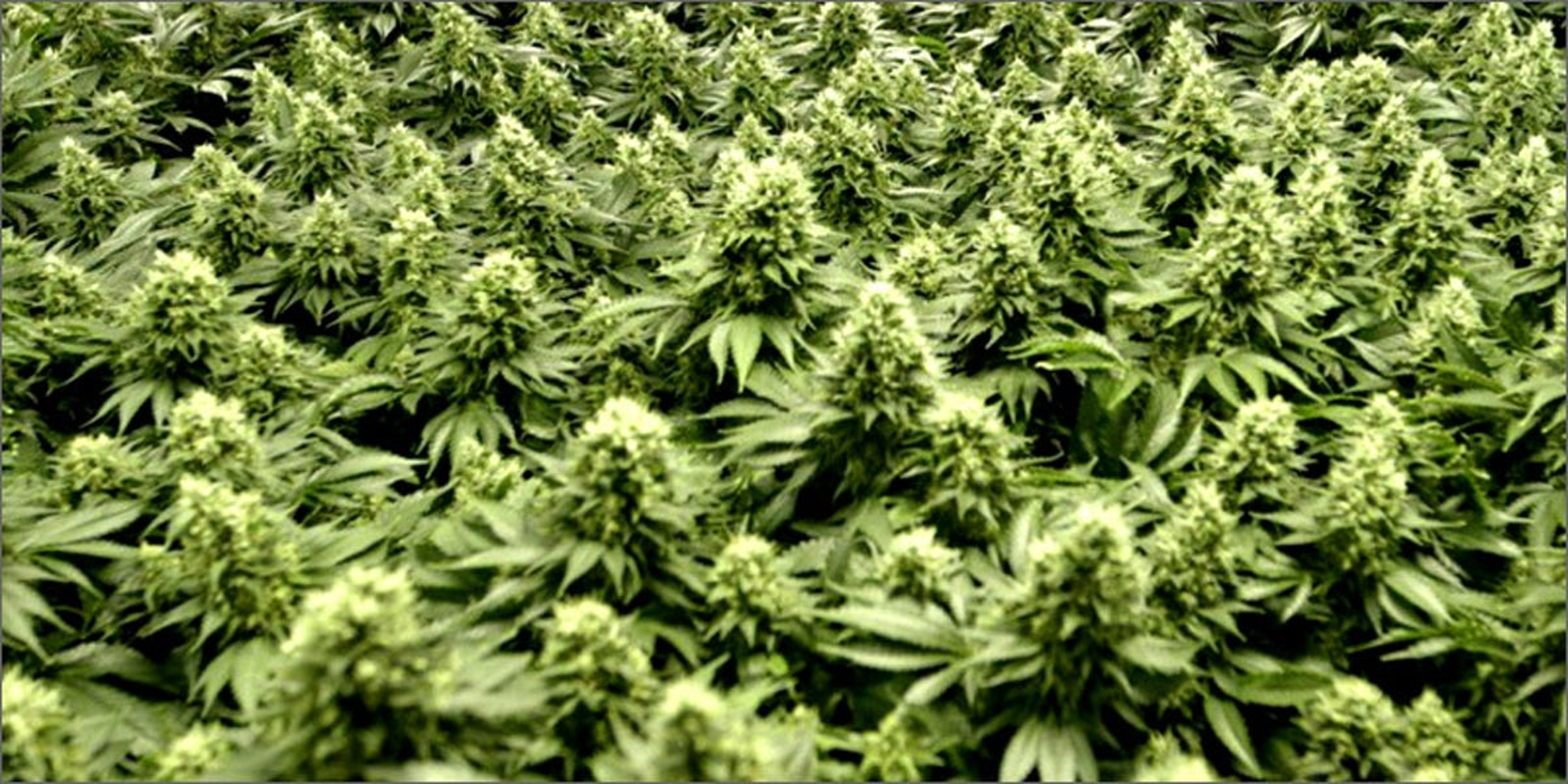 5 Truths About Growing Bigger Yields With LED vs  HPS | Herb